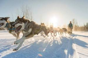 Amanda Vogel and her sled dog team.  Photo by David Nevala