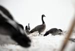 121812 - goose in dekes3