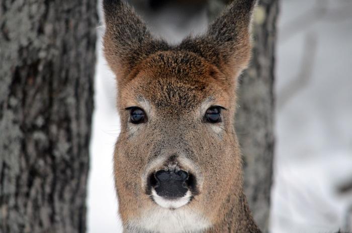 21113 - deer closeup