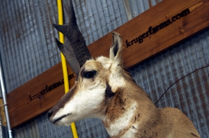 4113 - kruger farms pronghorn