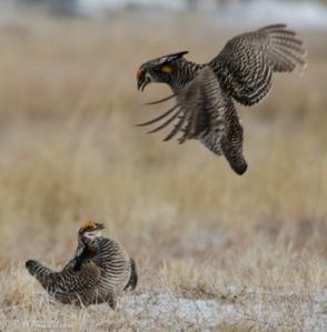 42513 - prairie chickens brawl