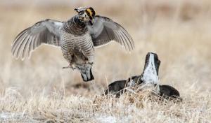 42513 - prairie chickens fight 2