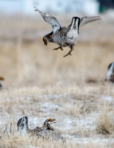 42513 - prairie chickens fight droppin in