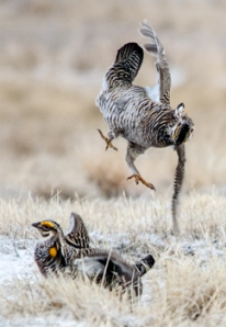 42513 - prairie chickens fight landing gear is down