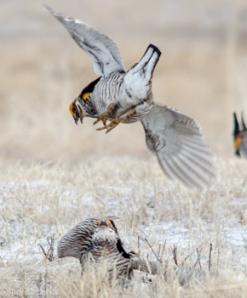 42513 - prairie chickens fight ruhroh