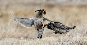42513 - prairie chickens fight tag