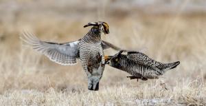 42513 - prairie chickens fight tag