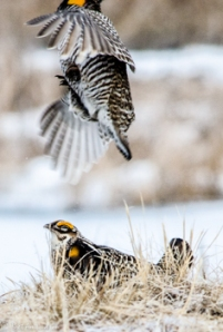 42513 - prairie chickens here comes the pain 2