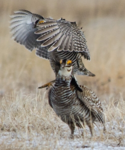 42513 - prairie chickens stand on my shoulders