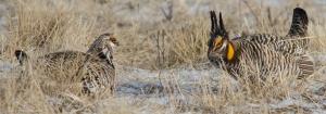 42513 - prairie chickens sun