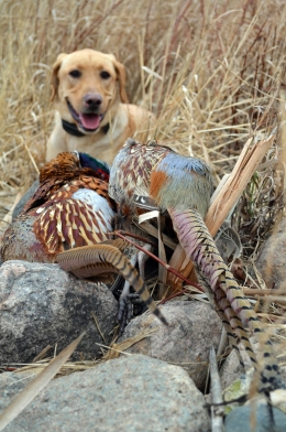 Montevideo Named Host For 2016 Governor's Pheasant Opener