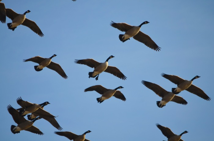 Resident geese will be targeted for an early goose season again this fall.