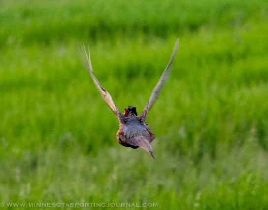 20130617- rooster