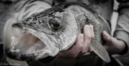 Mille Lacs Fall Fish Survey ShowsPromise