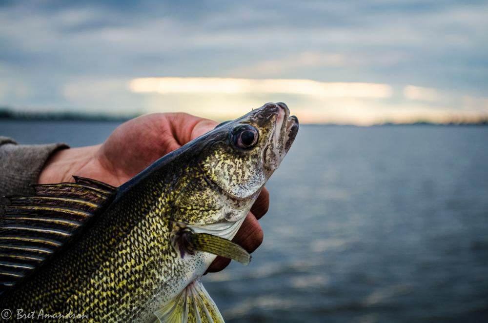 New Mille Lacs Walleye Regs Read More Sporting Journal