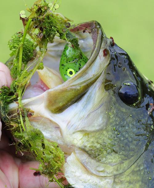 00710-016.11 Largemouth Bass