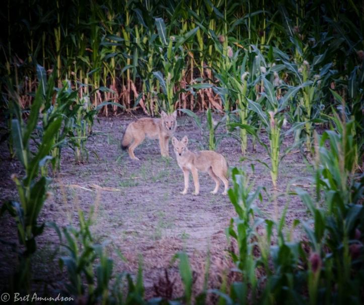 81313 - coyotes