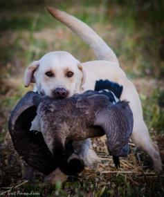 Windsor brings back a goose