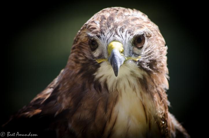 81613 - hawk close up 2