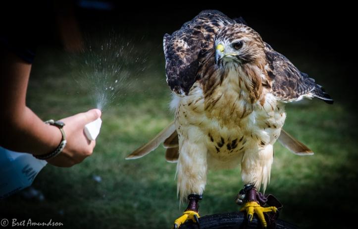 81613 - hawk getting sprayed water