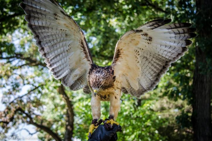 81613 - hawk wings open
