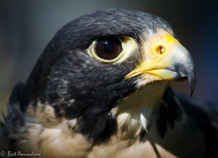 81613 - peregrine falcon face 2