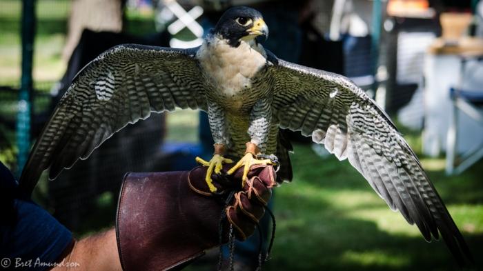 81613 - peregrine falcon_