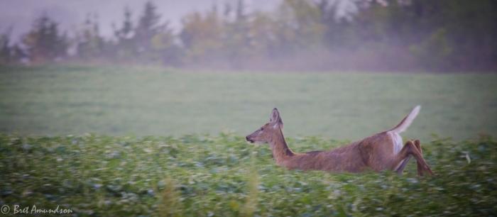 82813 - lqp sunrise deer ducks_-9