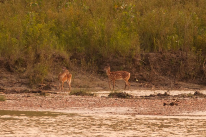 Fawns (1 of 1)