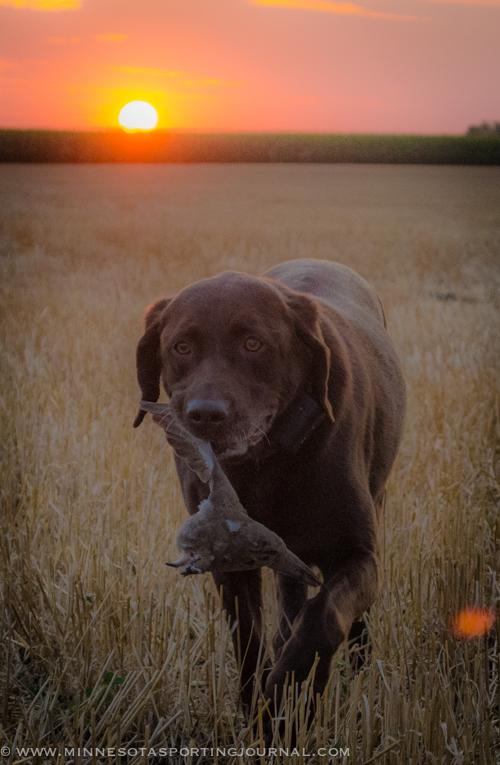 9413 - dove hunt-8
