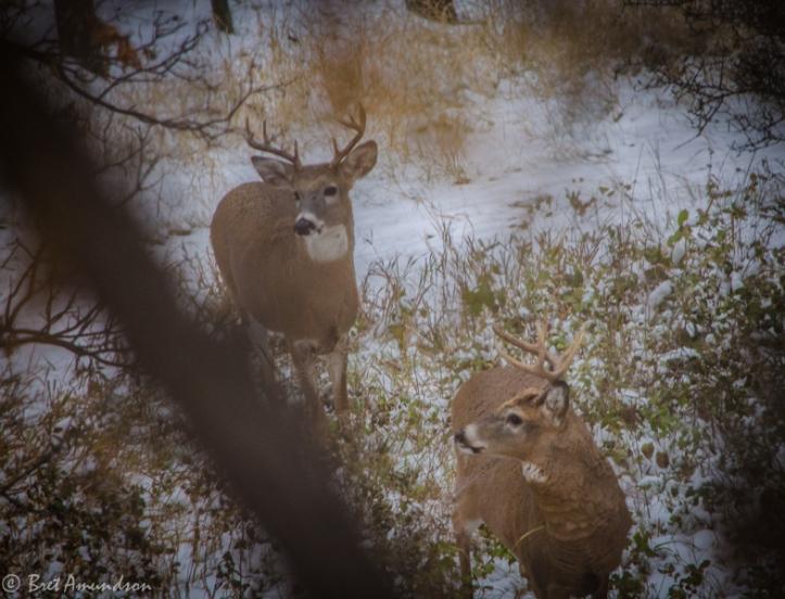 103013 - ND BADLANDS whitetail muley bucks-2