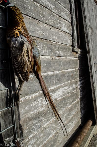 103113 - ND badlandsturkey pheasant mika-5