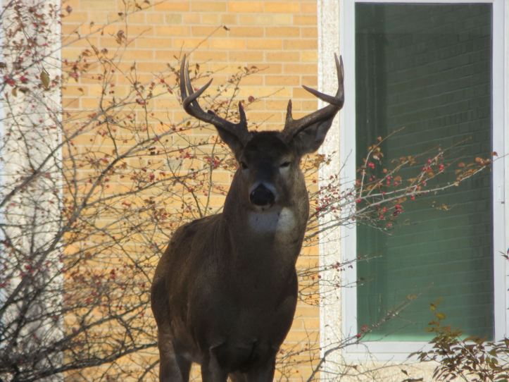 This buck is lucky that you can't hunt on 3M property!
