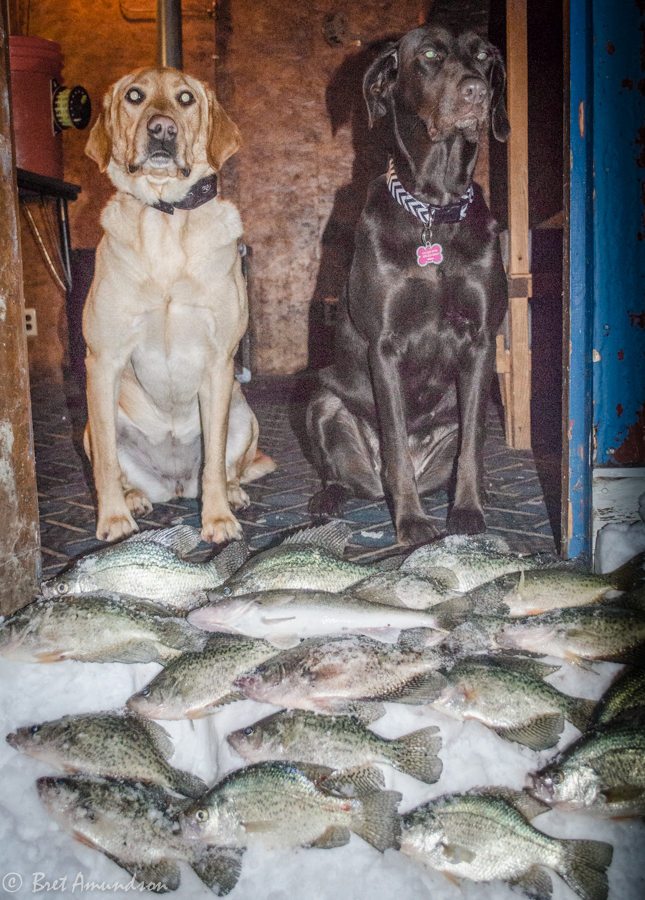 Can you believe these two dogs caught their limit of crappies and a bonus walleye?