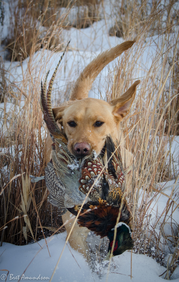 The Minnesota pheasant season ends on 1/1/14.