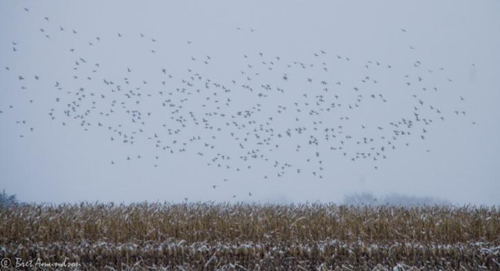 12413 - mika snow ducks-2