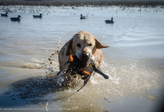 Stucker's 8-year-old lab, Chase.