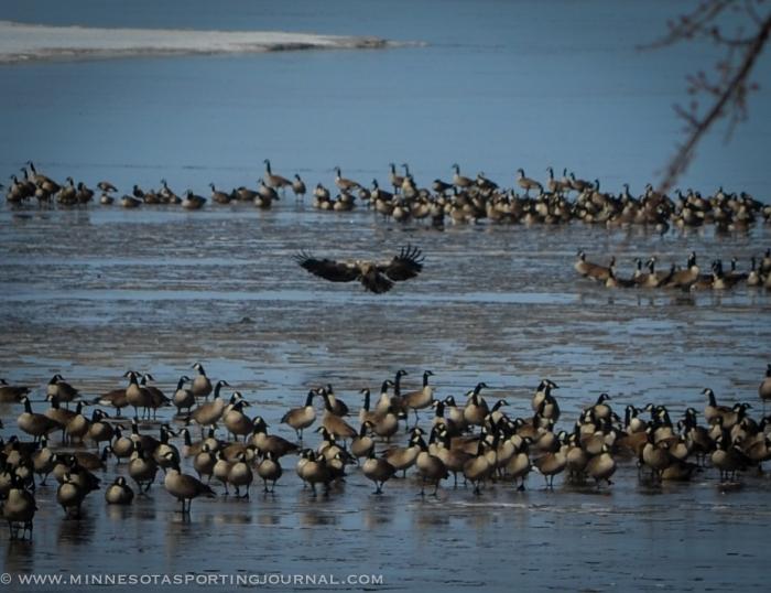 31614 - lqp dam geese eagle-2