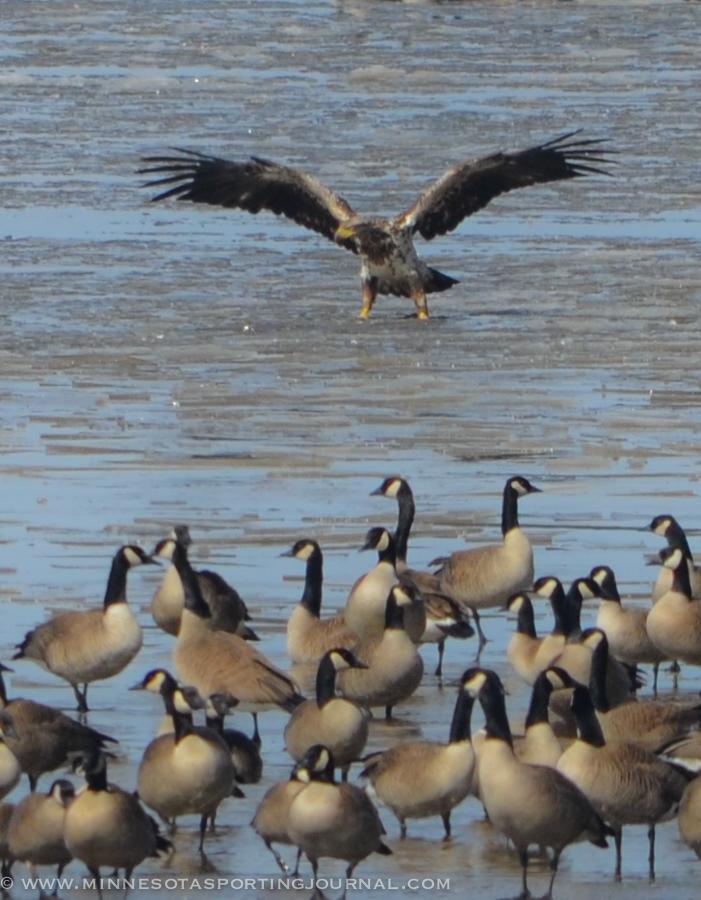 31614 - lqp dam geese eagle-3