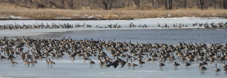 31614 - lqp dam geese eagle-4