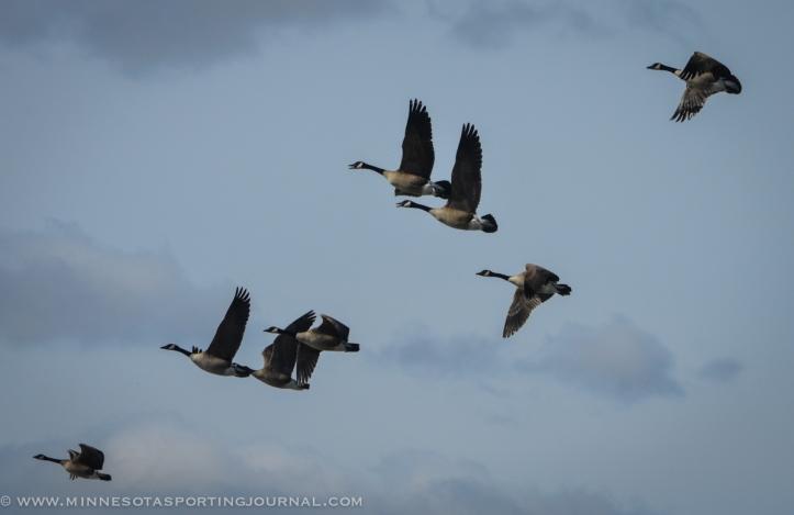 31614 - lqp dam geese eagle-5