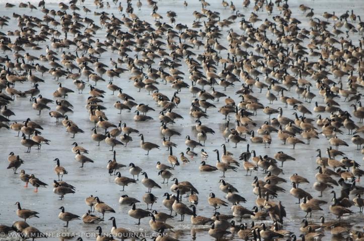 31614 - lqp dam geese eagle-6