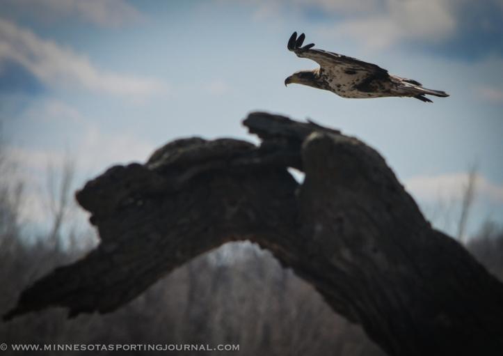 31614 - lqp dam geese eagle-7