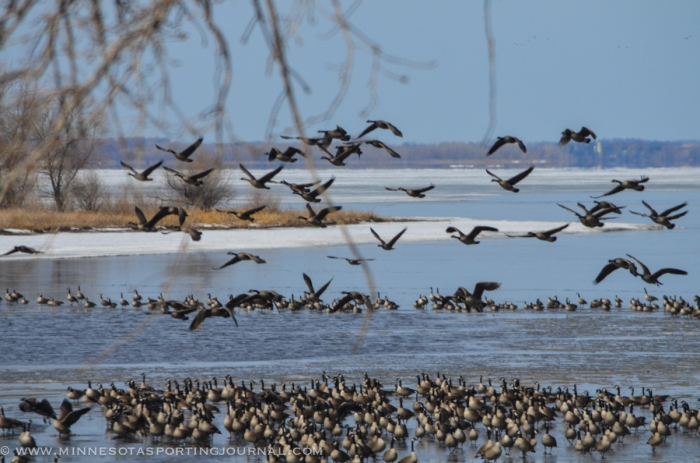 31614 - lqp dam geese eagle
