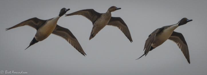 31814 - snow goose sd day 3 pintails wigeon canada mallard-7