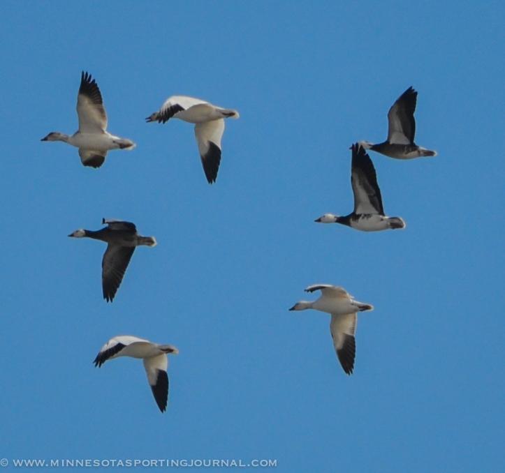 31914 - sd snow geese ducks mallards pintails-15