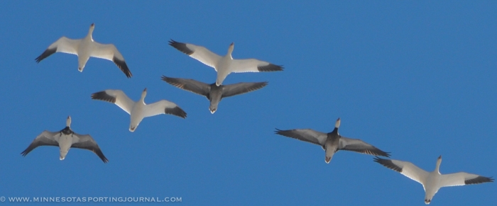 31914 - sd snow geese ducks mallards pintails-2