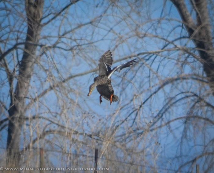 31914 - sd snow geese ducks mallards pintails-32