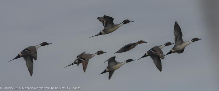 31914 - sd snow geese ducks mallards pintails-43