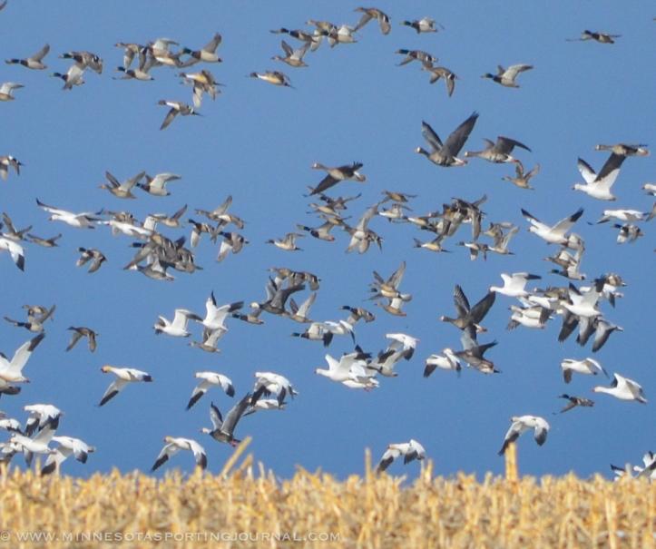 31914 - sd snow geese ducks mallards pintails-44
